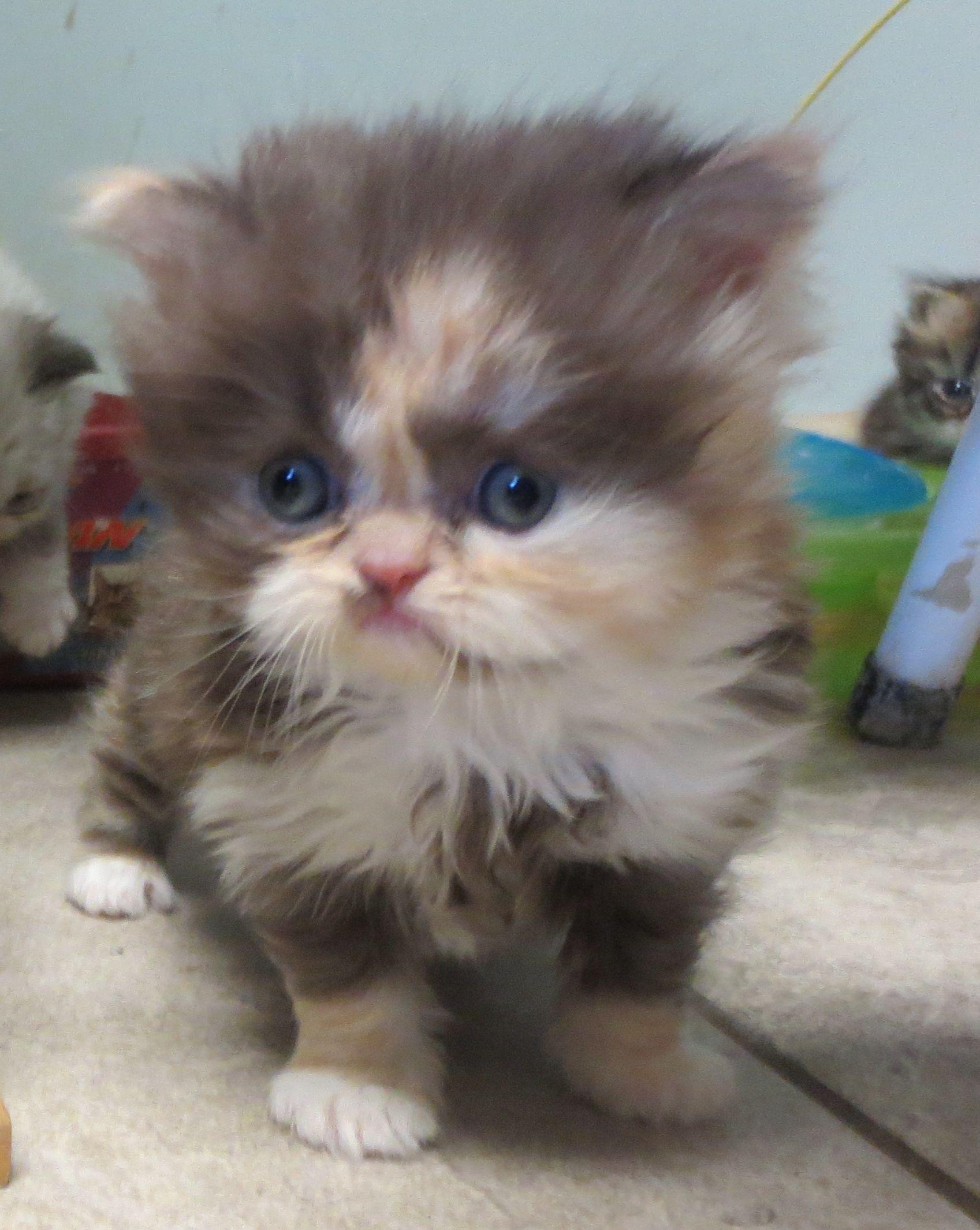 20  Best Of Calico Persian Kitten