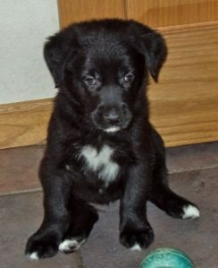 Golden Retriever Border Collie Mix Golden Retriever Mix Border