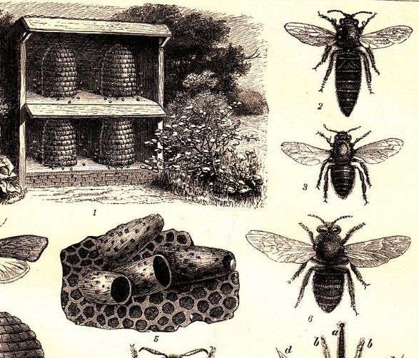 Victorian bee engraving - for label/bookmark
