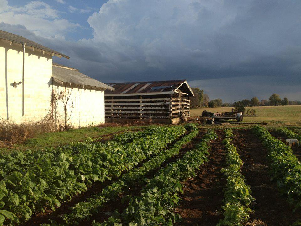Taylor Farm greens