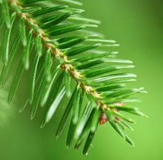 Also known as Blistering Pine, Fir Balsam Essential Oil is often ...