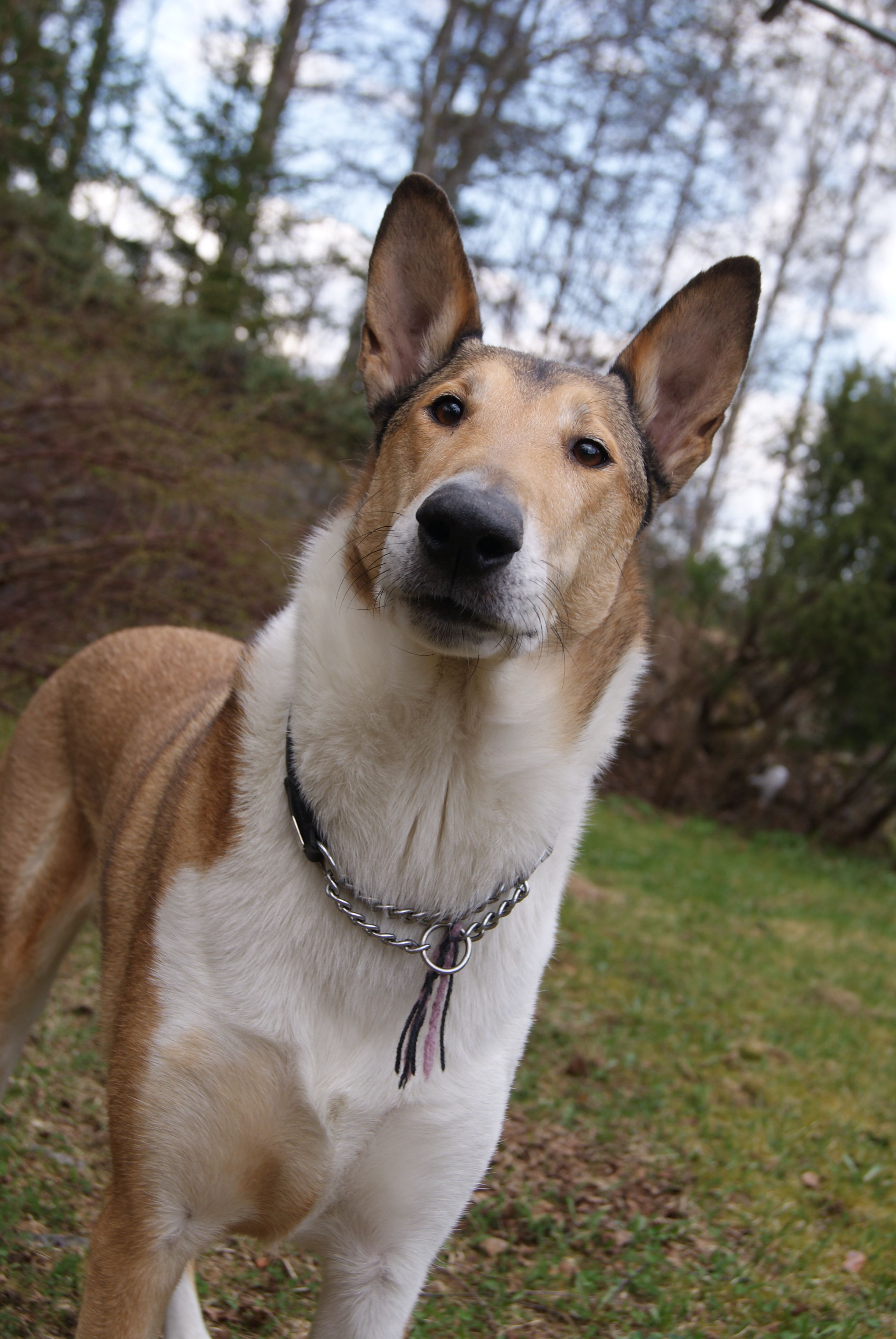 Smooth Collie dog photo Saved by dogs Kinds of Collies