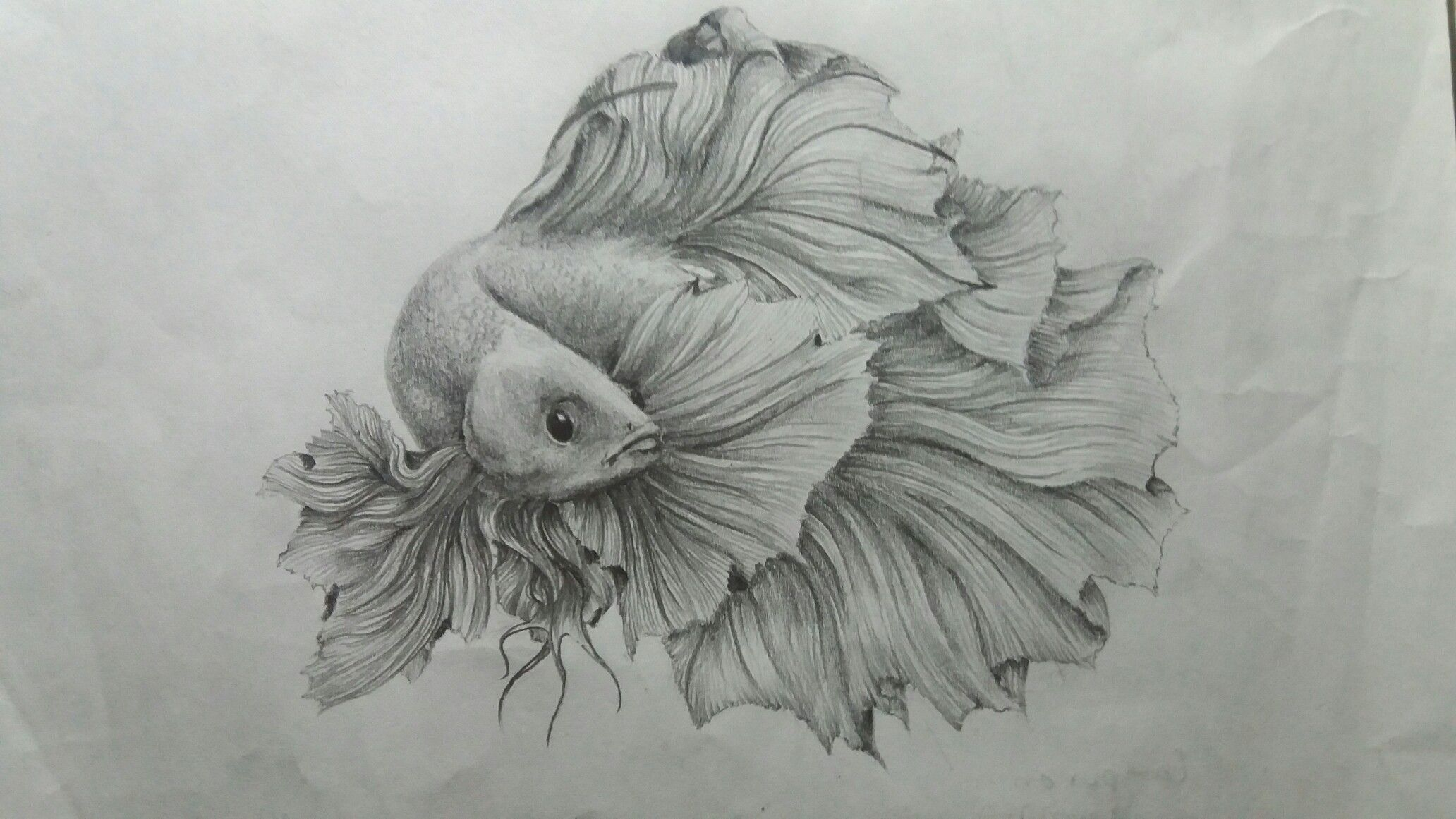 Ikan Cupang Menari Art Draw Ikan Cupang Fish