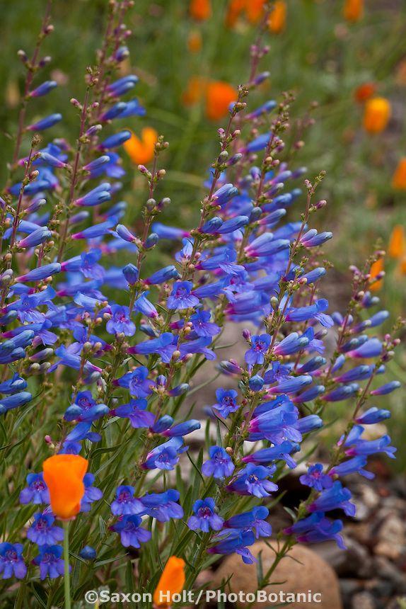 Blue Flowering Perennial Penstemon Heterophyllus Blue Bedder With