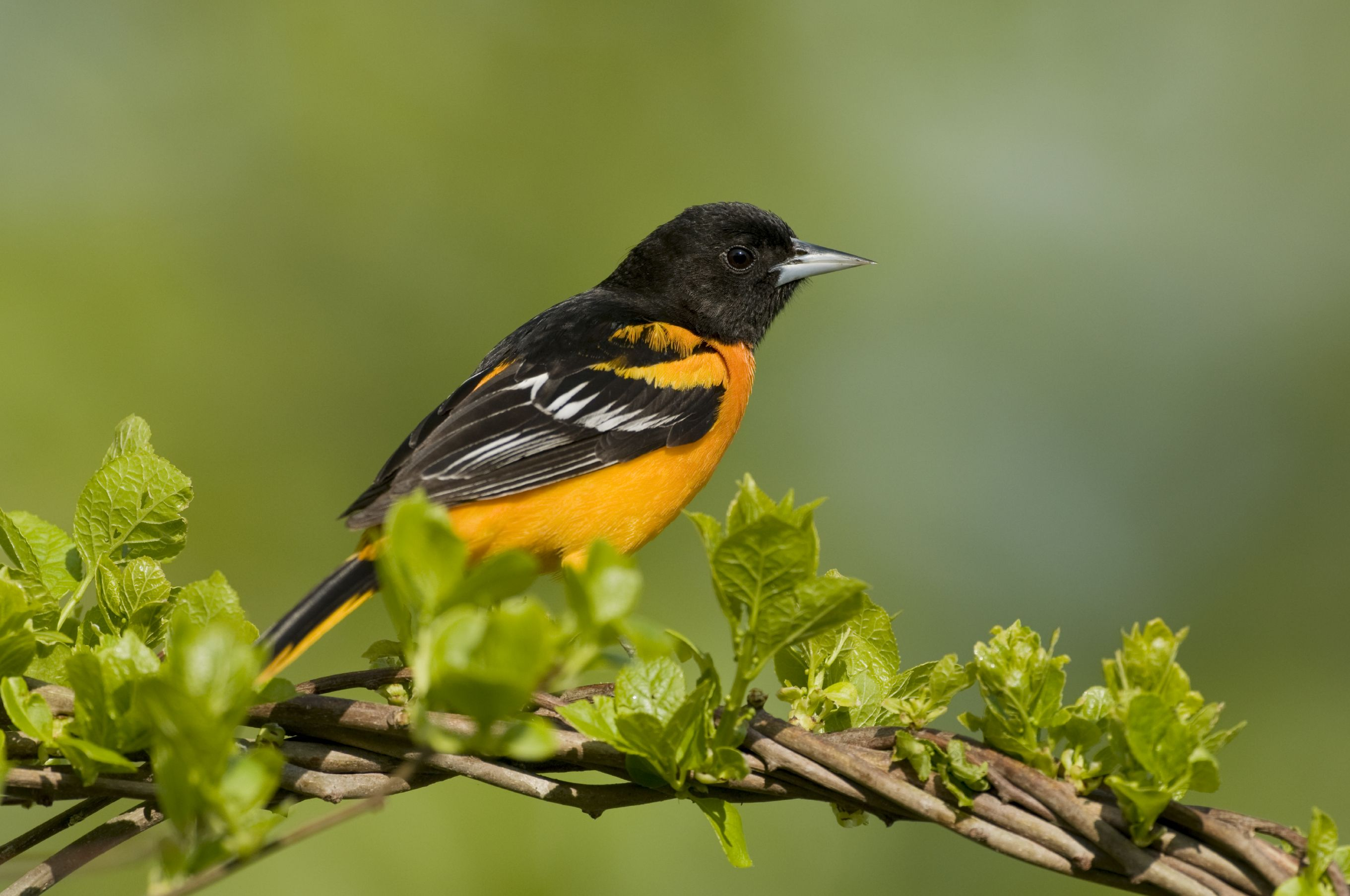 Attract Orioles With This Sweet Oriole Nectar Recipe Wild Birds Orioles Nectar Recipe