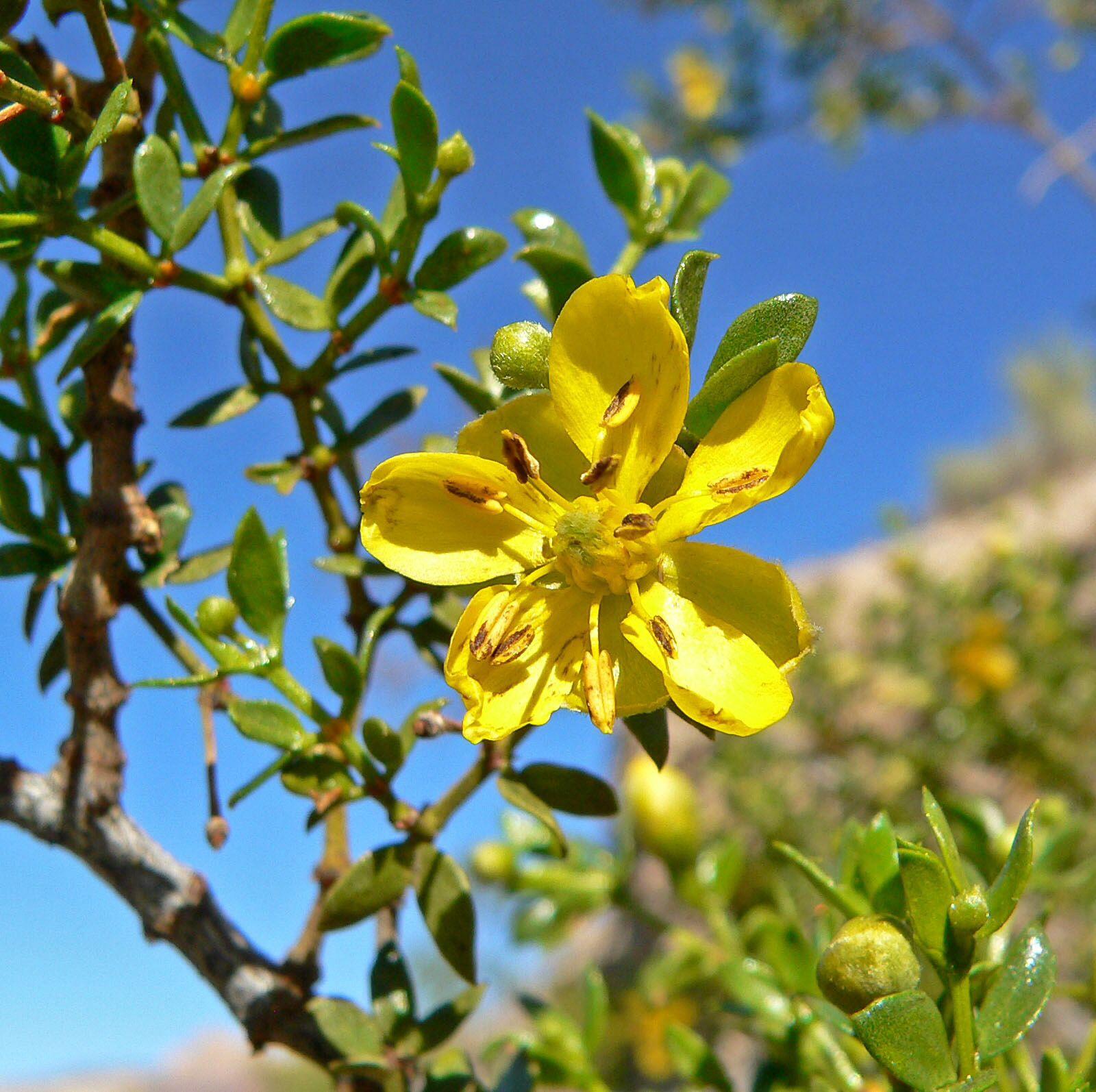 Larrea tridentata (jarrilla o chaparral)