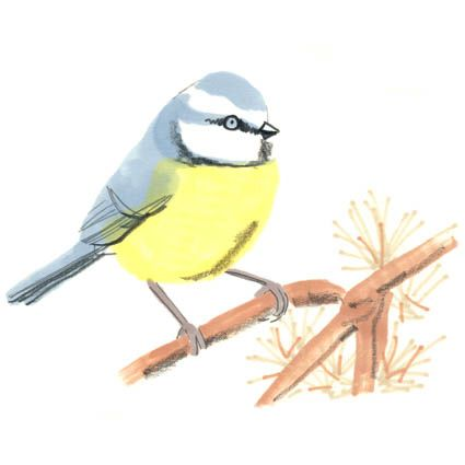 Blue Tit - £15.00 : greetings cards, art prints, mugs and unique gifts, by jo clark design