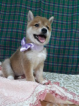 Shiba Inu Puppy For Sale In Los Angeles Ca Adn 39969 On
