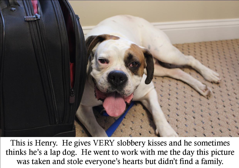 Adoptable Fridays Henry Lap dogs, Boxer dogs, Dog shaming