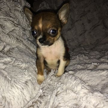 Chihuahua Puppy For Sale In Houston Tx Adn 21658 On Puppyfinder