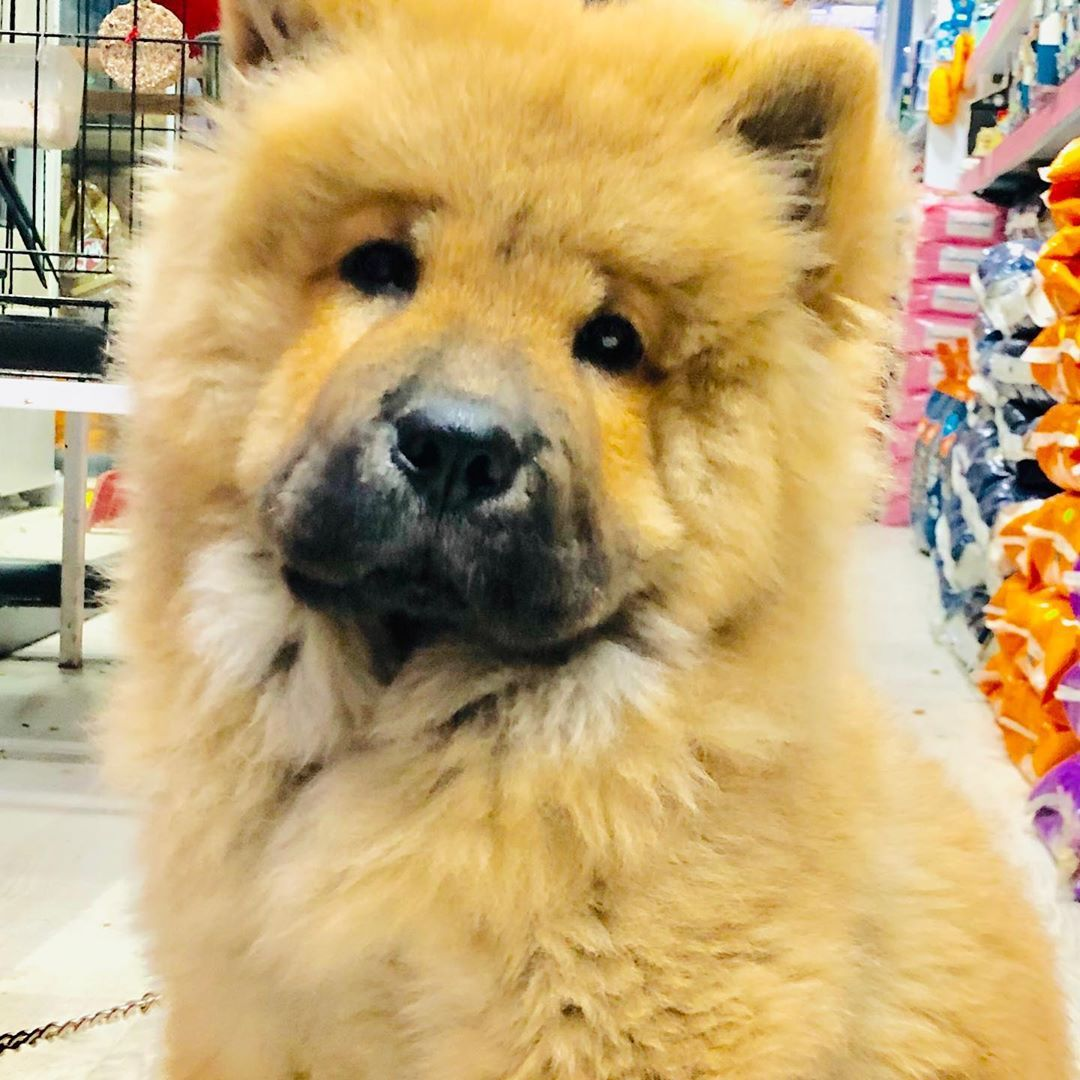 Love Love Love Brown Chow Chow Puppy Love Dog