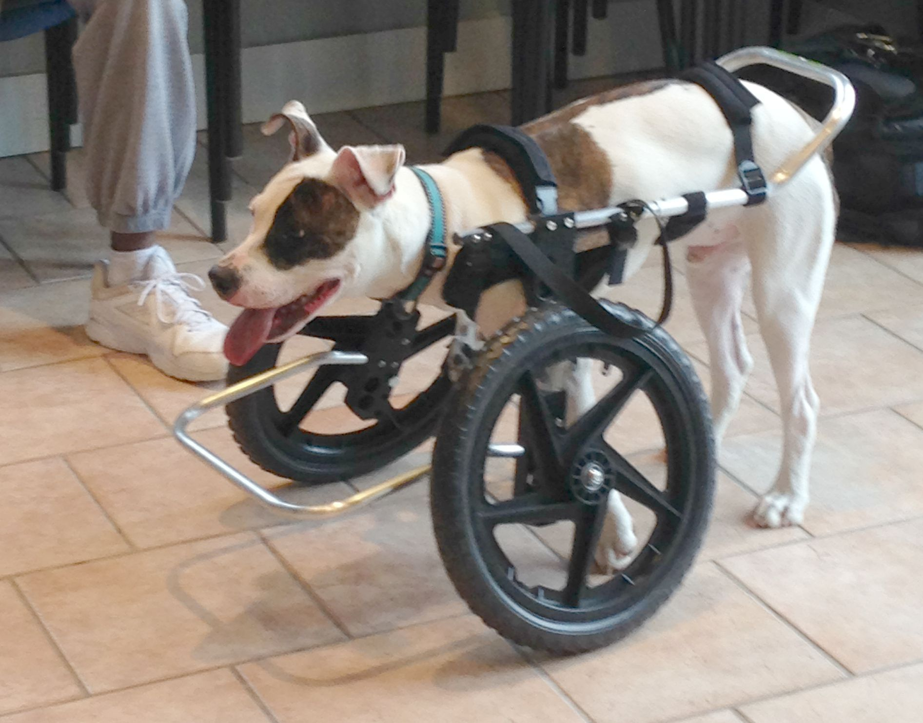 Custom Dog Wheelchair Front Rear Or Full Support Ruff Rollin Dog Wheelchair Disabled Dog Diy Dog Wheelchair