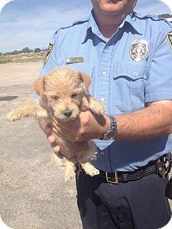 Reno Nv Shih Tzu Terrier Unknown Type Small Mix Meet