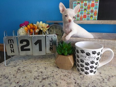 Chihuahua Puppy For Sale In Arlington Tx Adn 34621 On