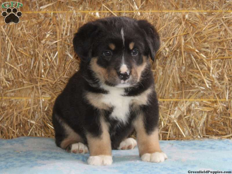 Bernese Mountain Dog Mix Puppies For Sale In PA! | Cute ...