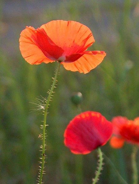 Unikko Mohnblume Blumen Mohn