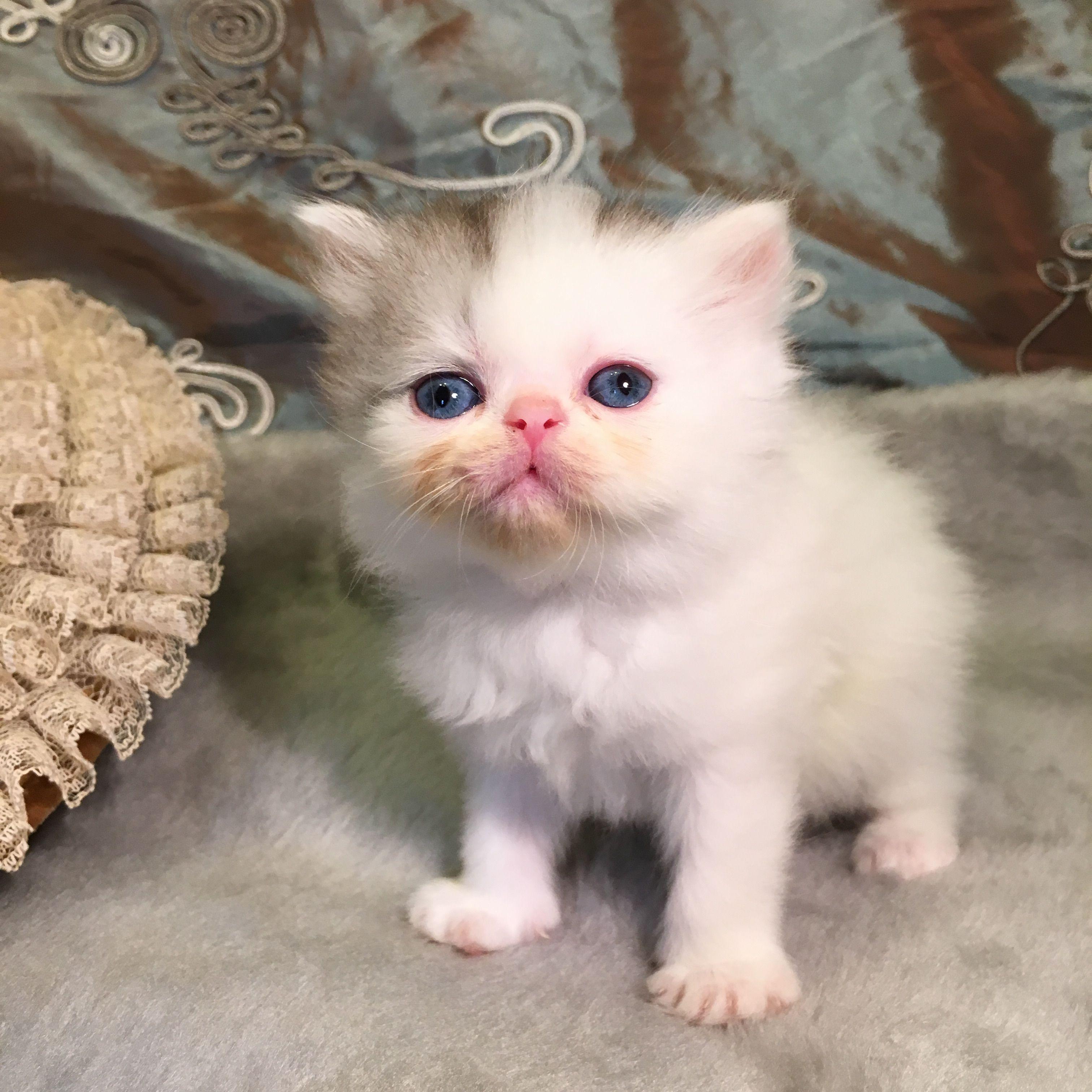 Gelato a smoke bicolor non standard Napoleon Minuet girl kitten