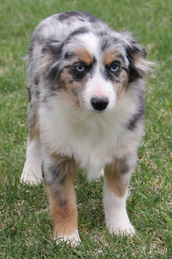 Blue Merle Toy Aussie Puppies In Co Me Md Ma Mi Mn Ms Mo