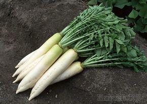 Дайкон – корнеплодная овощная культура, выведенная японскими селекционерами из известной нам редьки посевной. В японской кухне этот овощ является важнейшим ингредиентом большинства блюд. У нас же длин...