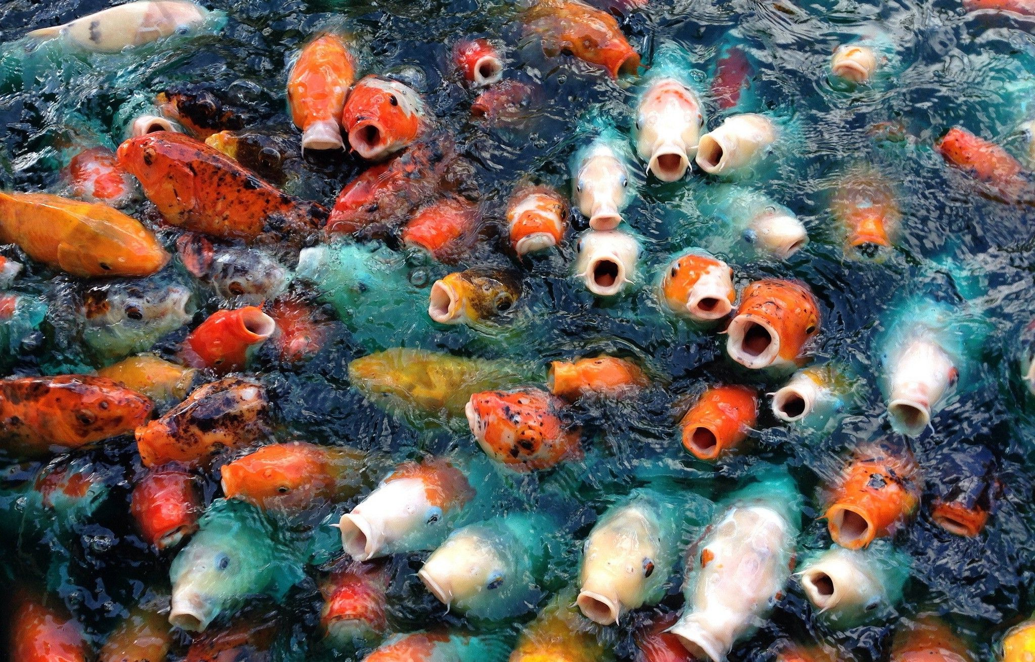 koi fish live wallpaper for android free downloadcom