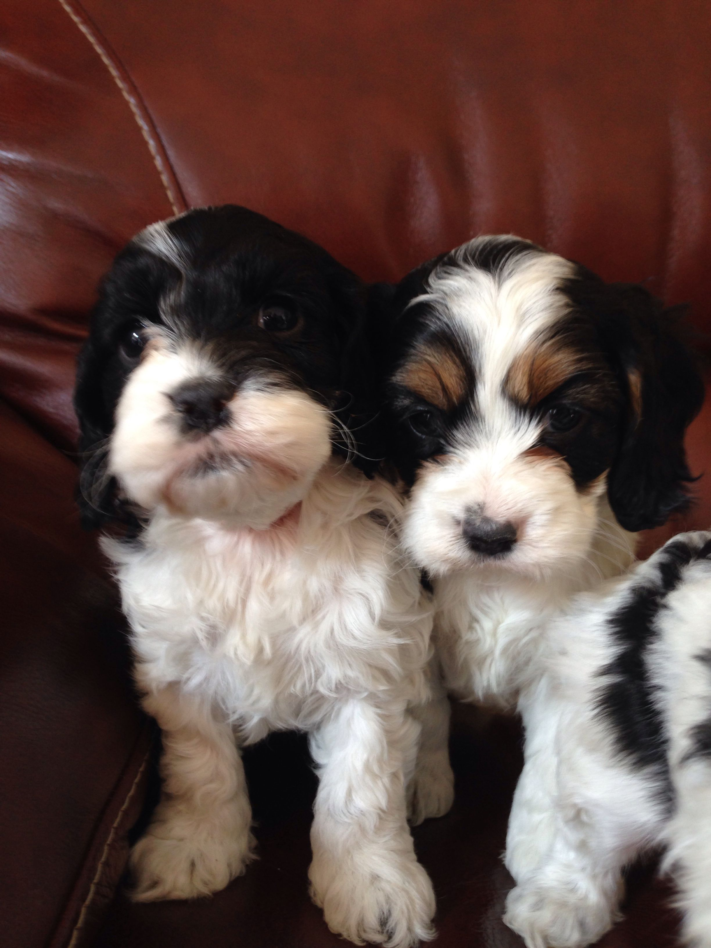 Teddy bear puppies for sale in maine