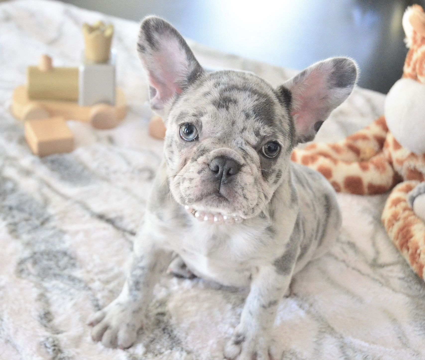 Blue Merle Female French Bulldog Puppy For Sale Blue French