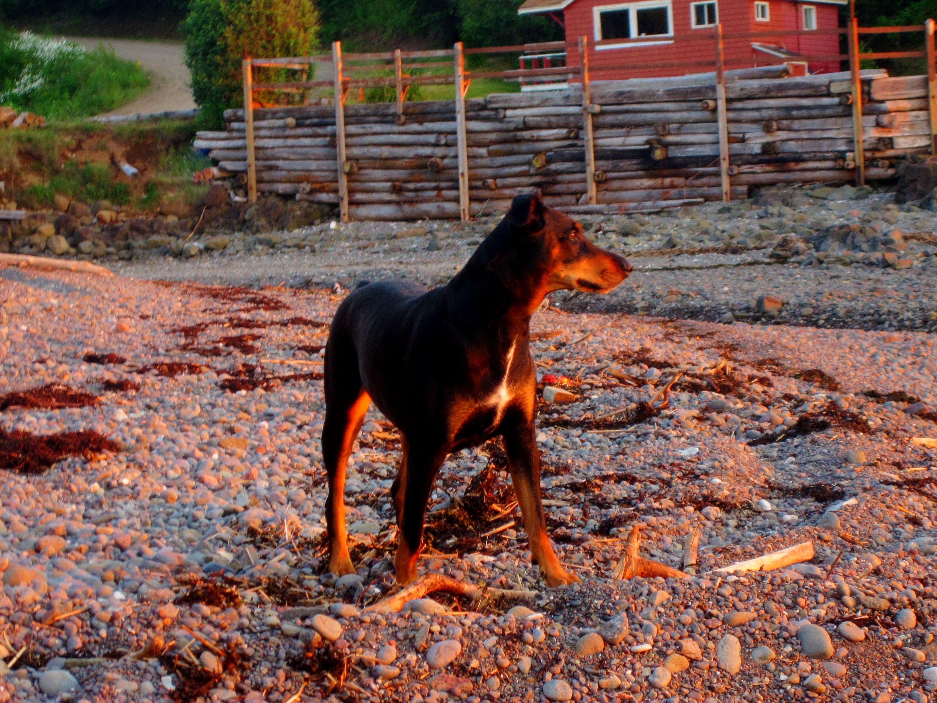 Hollie doberman doberman dogs animals