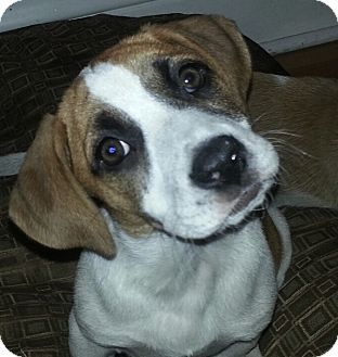 Beagle boxer mix | Beagle Boxer (Boggle) Mixes | Pinterest ...