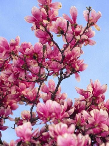 Magnolia Blossoms, Central Park, NY L�mina fotogr�fica por Rudi Von Briel en AllPosters.es