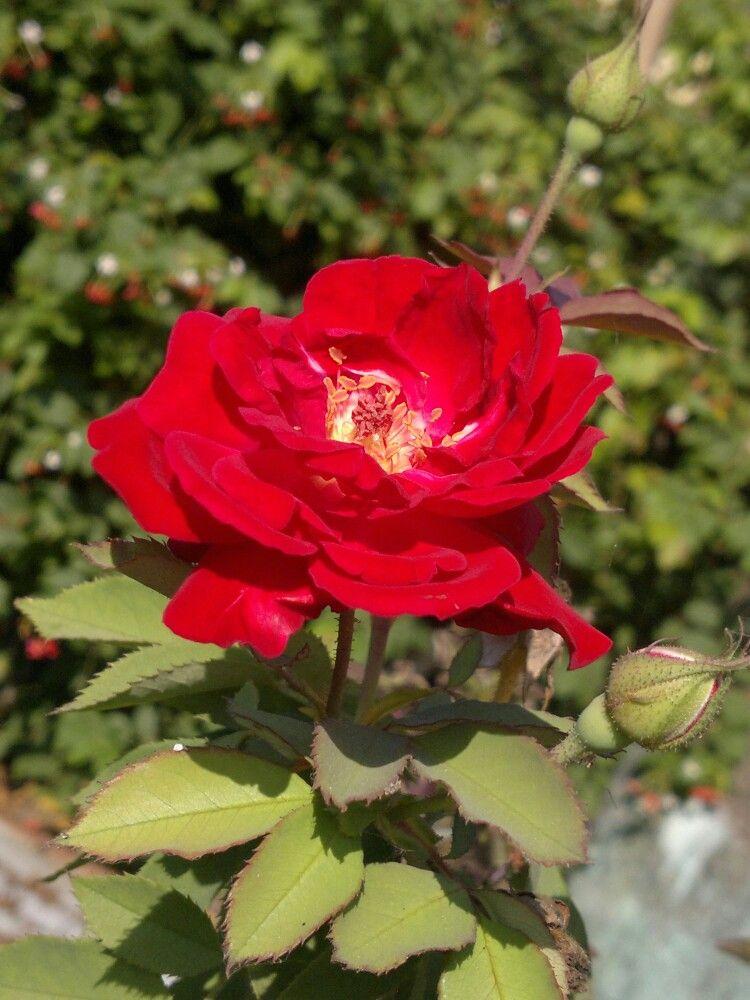 Symbol Of Love Red Rose Flowers Pinterest Flowers