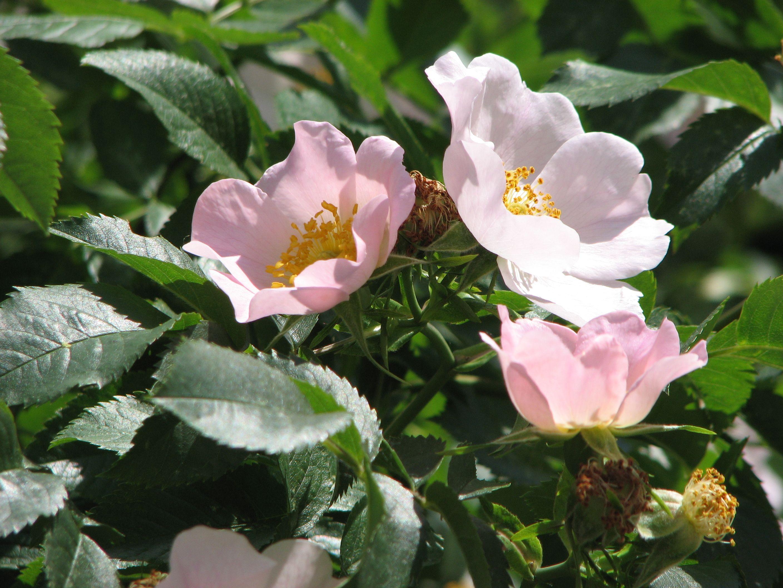 картинки на аву цветы шиповника знай, настоящий