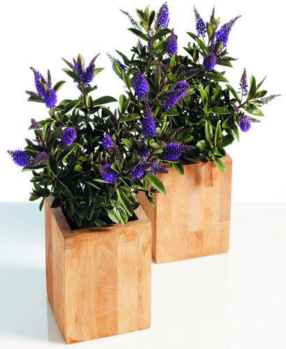Hebe (Hebe andersonii) Je to záhonová trvalka, vhodná i na hroby. Rozmnožuje sa vegetatívne. Materská rastlina sa po odkvitnutí zostrihá. Od októbra do decembra môžete pripraviť odrezky- najlepšie vrcholové, ktoré majú aspoň 4 - 6 listov. Tieto sa vložia do črepníka (3 - 4 cm). Zakryjú sa fóliou a po 3 - 4 týždňoch pri zabezpečení teploty 14 - 16°C odrezky zakorenia a presadia sa do črepníka s priemerom 6 - 7 cm. Neskôr môžete do črepníka s priemerom 7 cm dať 2 - 3 rastliny.