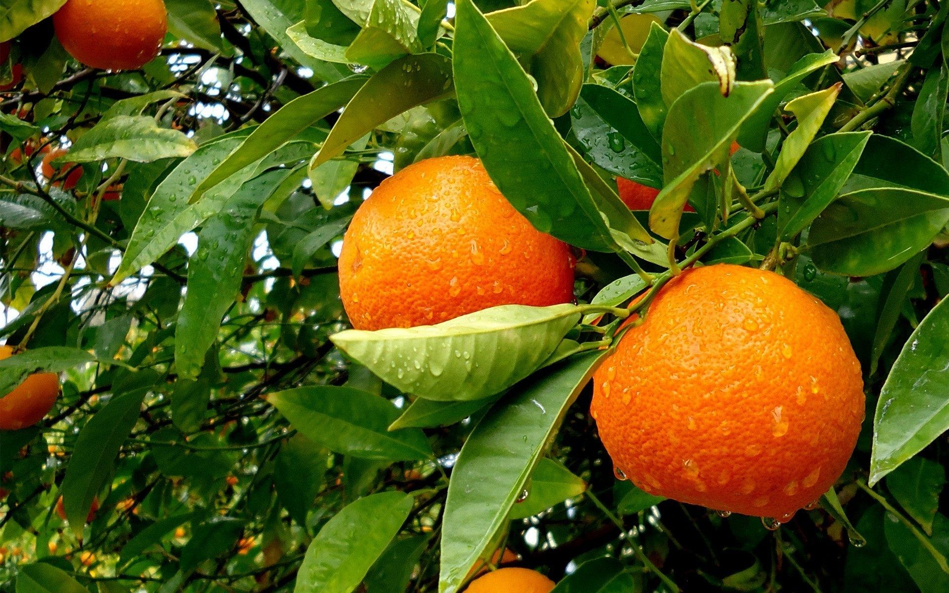 Orange Cultivation Guide Introduction Of Is One The Top Citrus Fruits Being Grown In Most Countries After Banana And