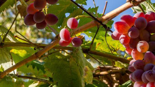 Grapes by rescopt  IFTTT 500px