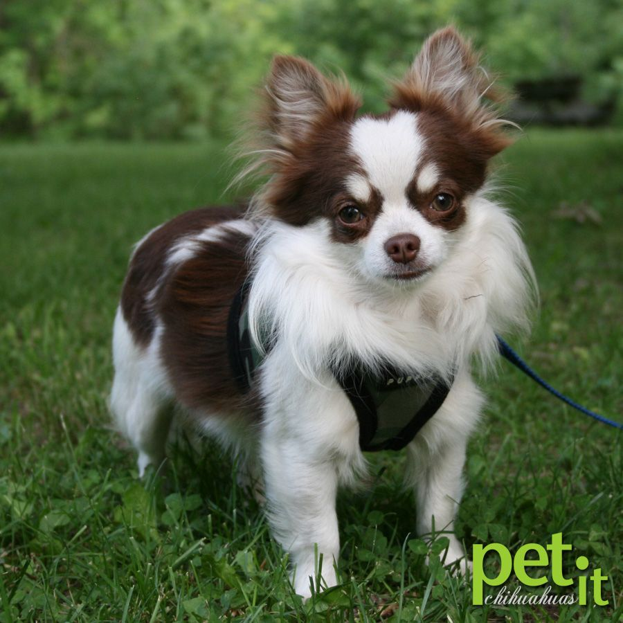 Petit Chihuahuas Cute Chihuahua White Chihuahua Chihuahua