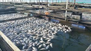 Tilapia Fish Farming Pdf