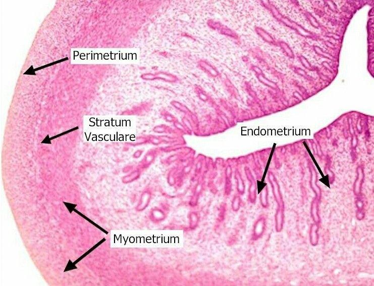 Uterus | A+P 2 | Human anatomy, physiology, Histology slides