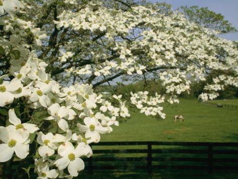 A Blossoming Dogwood Tree In Virginia Dogwood Trees Dogwood
