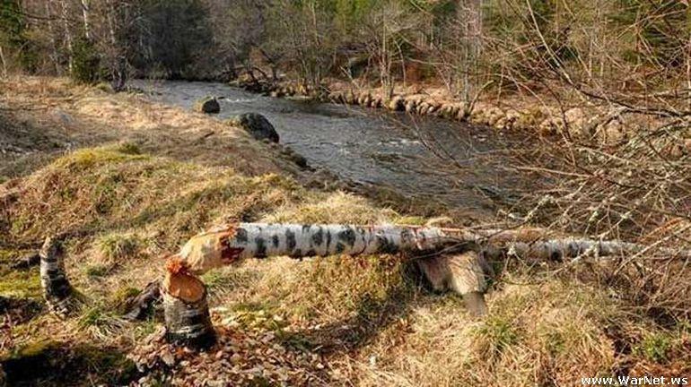 nice Beaver podgryz tree on the improper facet (3 photographs)
