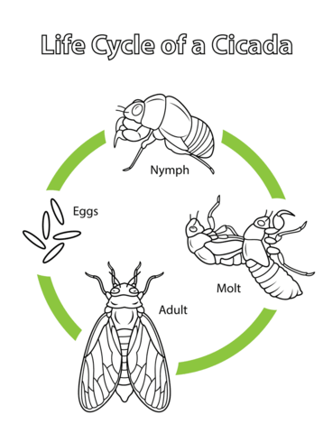 Life Cycle of a Cicada coloring page from Cicada category
