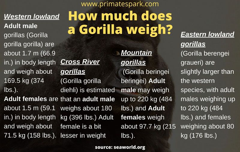 how much does a full grown gorilla weigh how much does a male gorilla weigh how much does a silverback weigh how much does a silverback gorilla weigh how much does a gorilla weigh