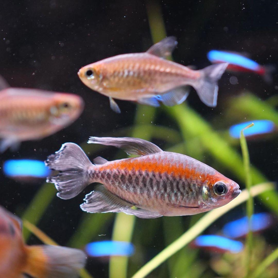 The Congo Tetra Fish Cool Fish Tanks Tetra Fish Fish Tank