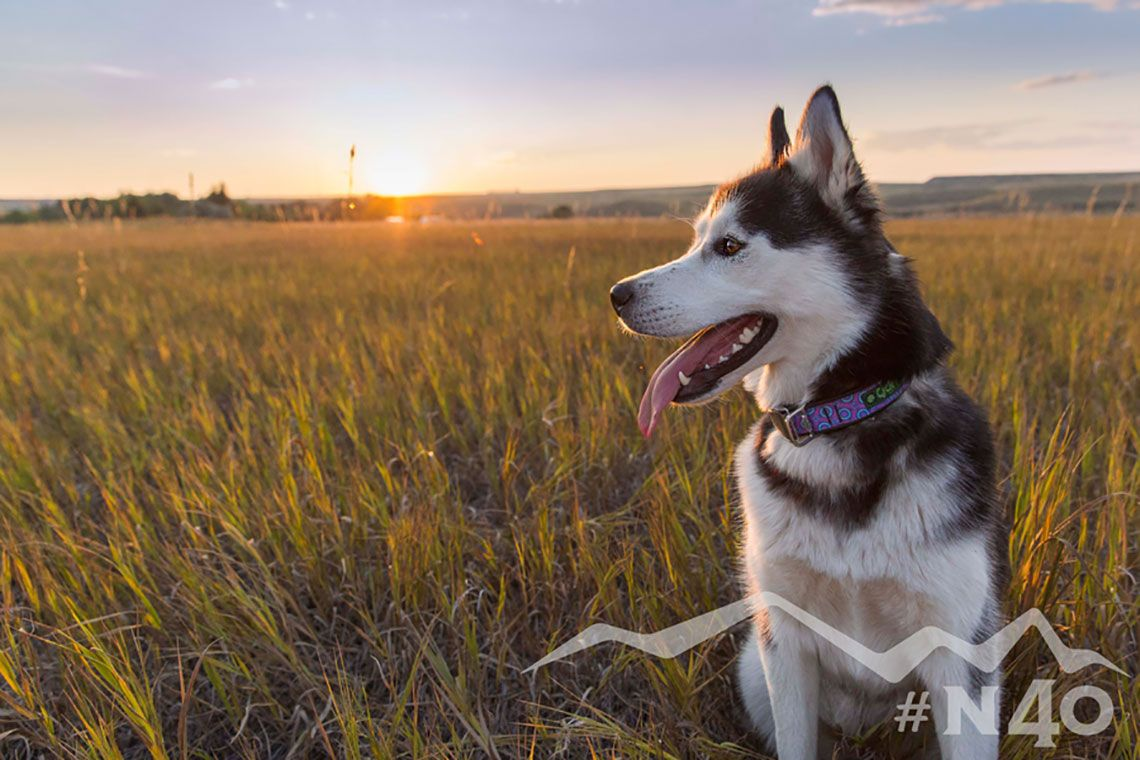 Huskie Dog In The Montana Sunset Check Out Our Review Of Cycle
