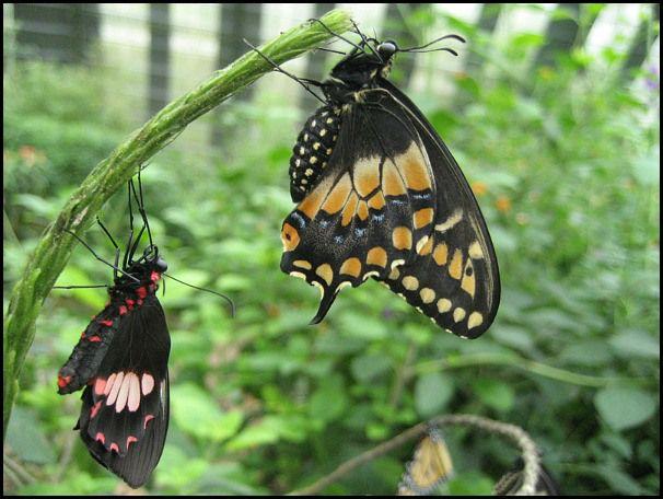 butterflies, mariposas
