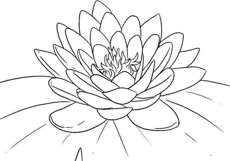 Lotus Coloring Pages Printable Sketsa Wallpaper Iphone Sulaman