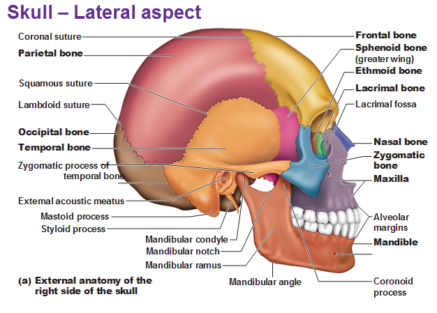 axial skeleton skull diagram what are the two solstice lateral view anatomy pinterest