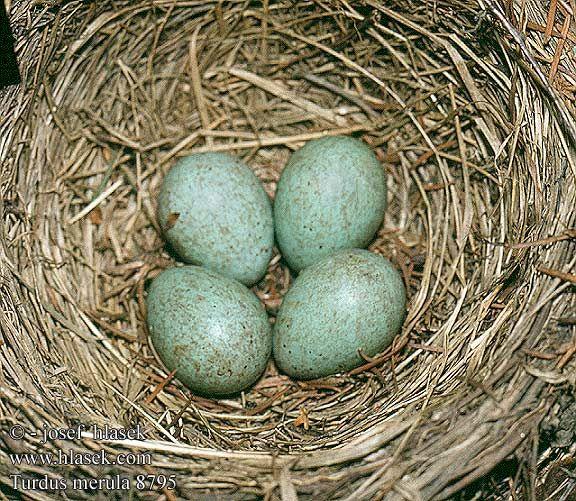 eggs of the Common blackbird (Turdus merula) | Egg nest ...