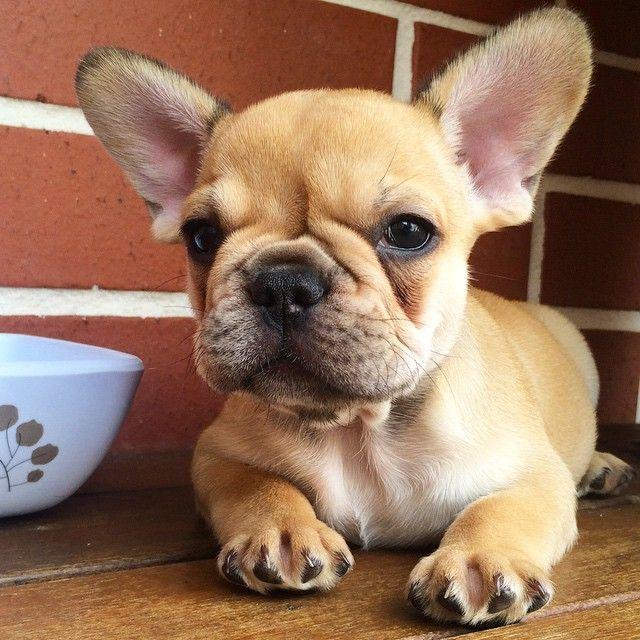 French Bulldog Puppy Cute French Bulldog French Bulldog Puppies