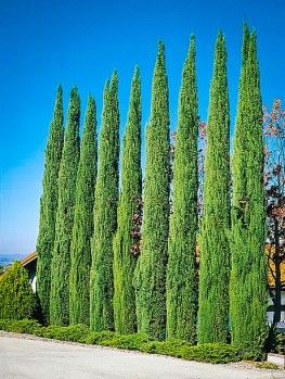 Buy Thuja Green Giant Evergreen Trees Online Arrive Alive Guarantee Free Shipping On All Orders Over 99 Italian Cypress Trees Italian Cypress Cypress Trees