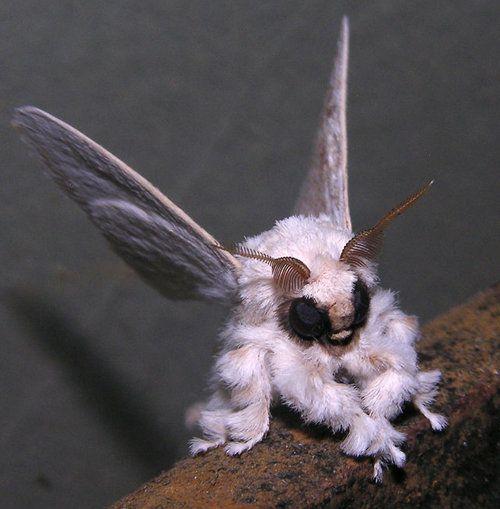 wampa moth =)
